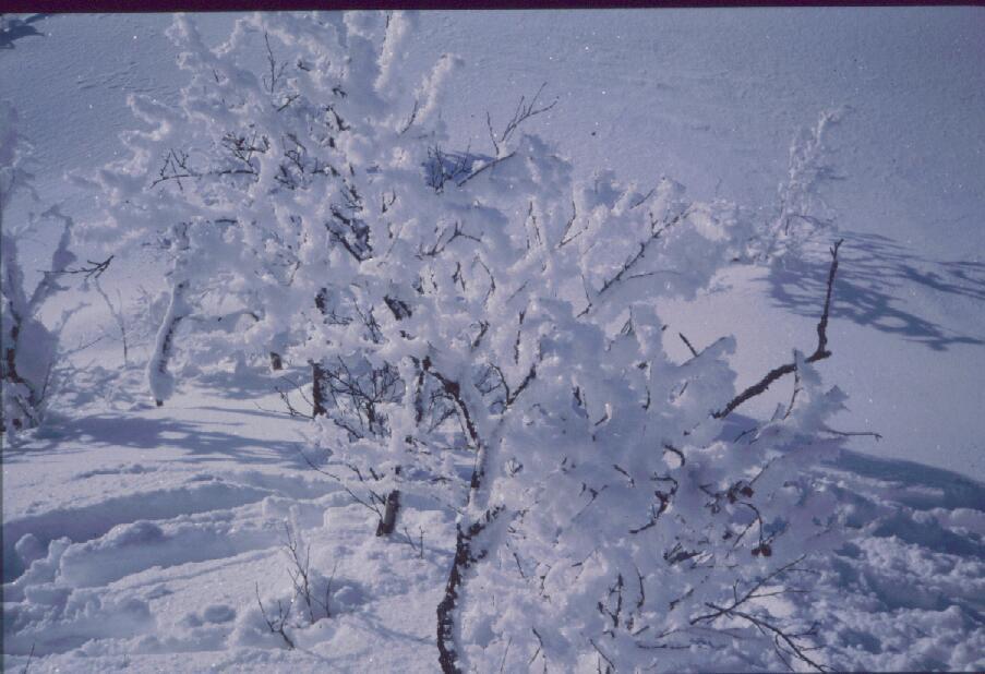 Koivuja Harripäällä 14.3.1985