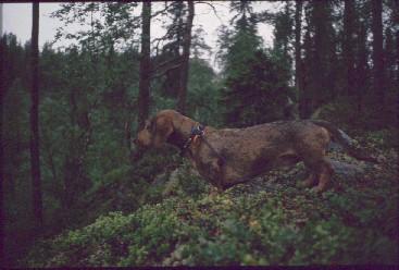 Mäyräkoira 'Dacke' Karhunkierroksella 15.7.1990
