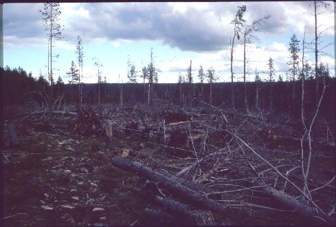 Myrskyn kaatamia puita lähellä Tahvontupaa 14.7.1994